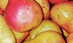 Pear Gift Pack – dozen
