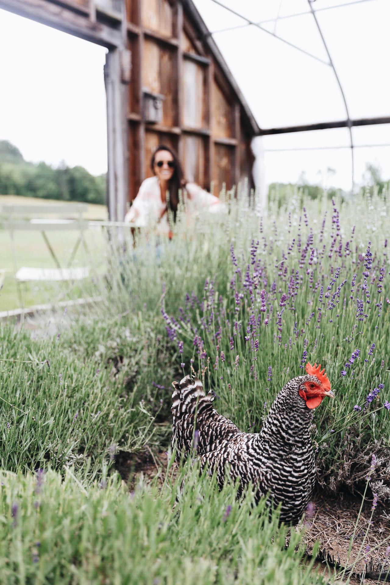 via @elanaloo + elanaloo.com | visiting a lavendar farm | drying lavendar | exploring maine | maine in the summer | summers in maine | camden, maine | Glendarragh Lavender Farm | maine lavendar | travel blogger