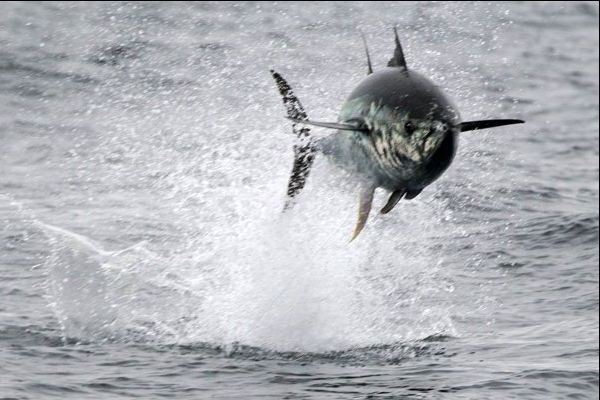 Flying Tuna
