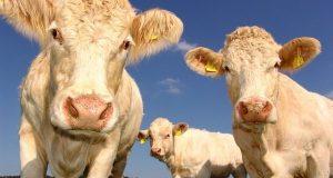 vacas alimentación sin carne