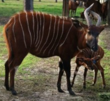 Eastern bongo, Mookie, with her newborn calf right after we did our neonate exam.
