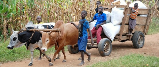 oxen-pulling-car-with-boys-Uganda-featured