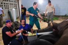 Bull African elephant endodontic procedure. Colombian veterinarian Camilo Tapia being trained on anesthesia of mega-vertebrates while veterinary dentist cleans the sulcus of the tooth.