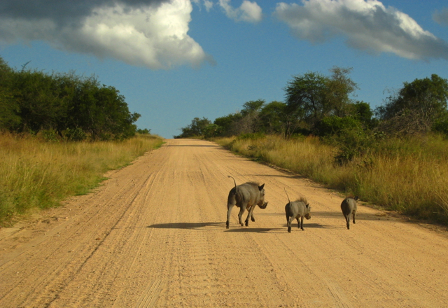 A warthog family hightailing out of the road.