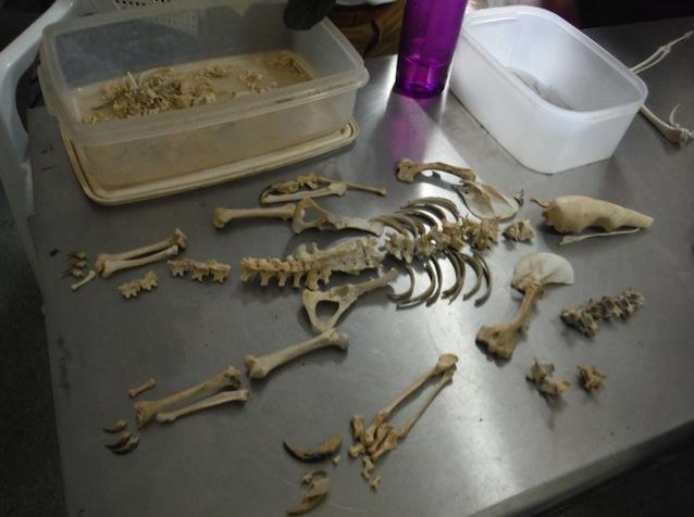 Belize-wildlife-veterinary-tamadua-skeleton