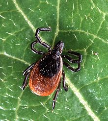 Lyme disease ED Presentations / Management Pearls and Pitfalls