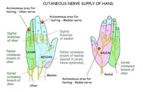 Figure 1. Cutaneous Nerve Supply of the Hand O'Rahilly R. Basic Human Anatomy: Chapter 10: The Hand. 2008. Available from: https://www.dartmouth.edu/~humananatomy/about/credits.html
