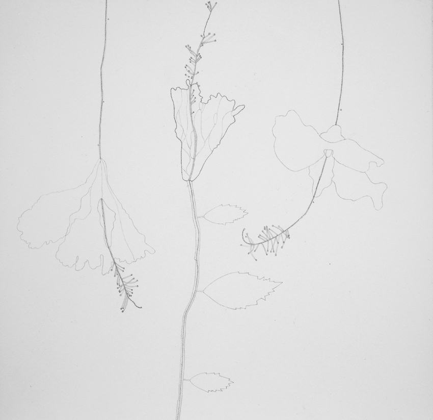 MANDY BONNELL Hibiscus, 2015, graphite on paper, 27.5 x 28.5cm