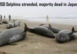 Dead Dolphins in Japan