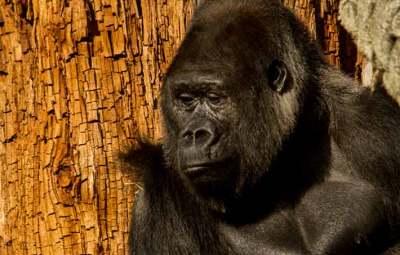 gorille-zoo-saint-martin-la-plaine