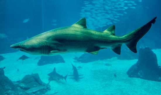 requin-oceanorium-lisbonne