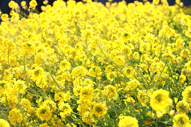 Winter canola is cold hardy, but it's not as resilient as wheat.