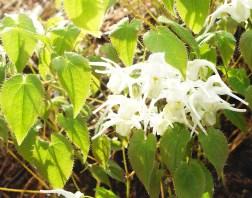 E. sempervirens 'Okuda's White' web