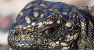 iguane serpent Galapagos