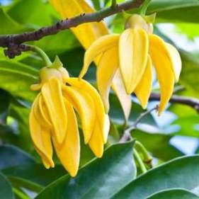 0001351_olio-essenziale-ylang-ylang-extra_300