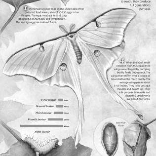 Luna Moth Life Cycle