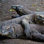 Hiking with Komodo Dragons: Komodo and Rinca