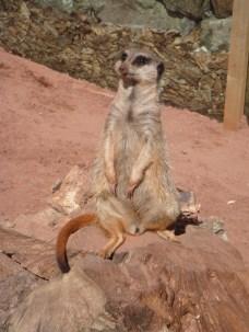 Dartmoor Zoo - Meerkat