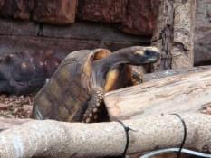 Paignton Zoo - tortoise