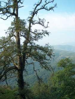 Ejemplar de roble en la zona alta de Monte Aá