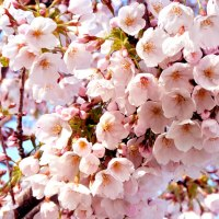 <!--:es-->Hanami en Madrid.  Contemplar las flores de los cerezos.<!--:--><!--:ja-->マドリードで楽しむ花見<!--:-->