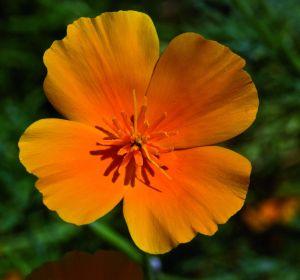 eschscholzia californica DSC_3730