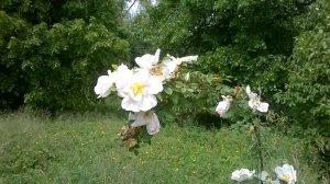 Feeringbury Manor Gardens (17)