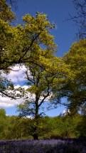 Bluebells at Hillhouse Wood West Bergholt (11)