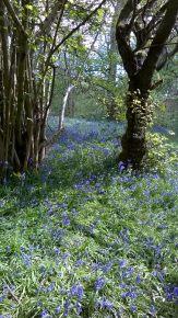 Bluebells at Hillhouse Wood West Bergholt (20)