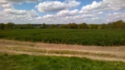 Bluebells at Hillhouse Wood West Bergholt (3)