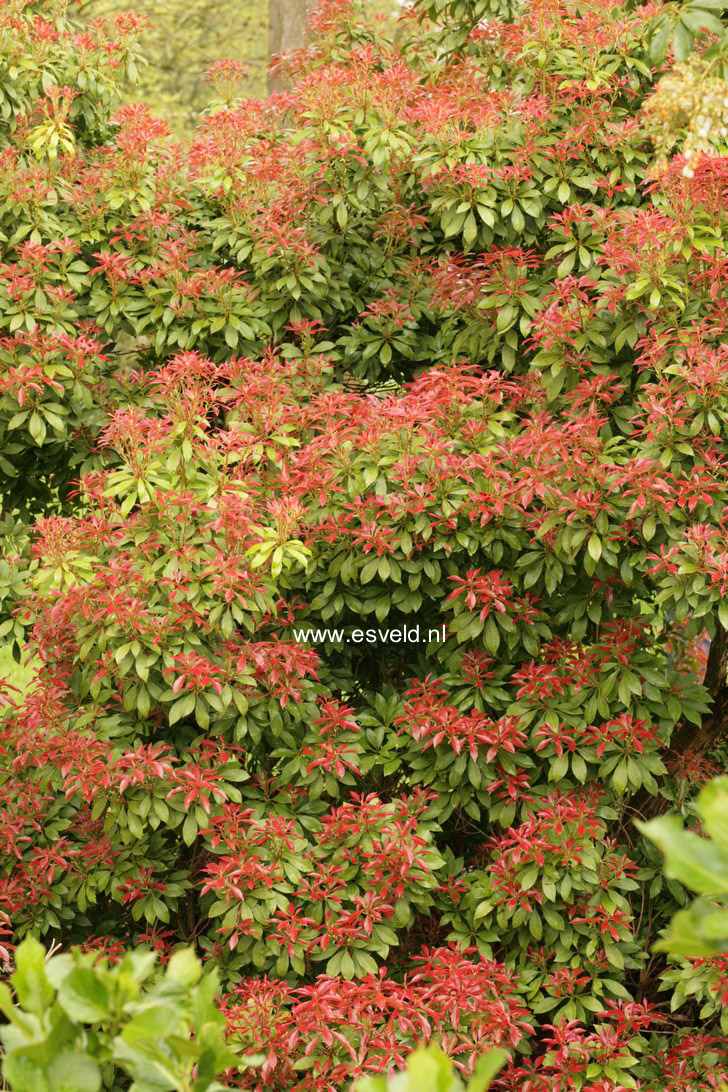 Large Of Mountain Fire Pieris