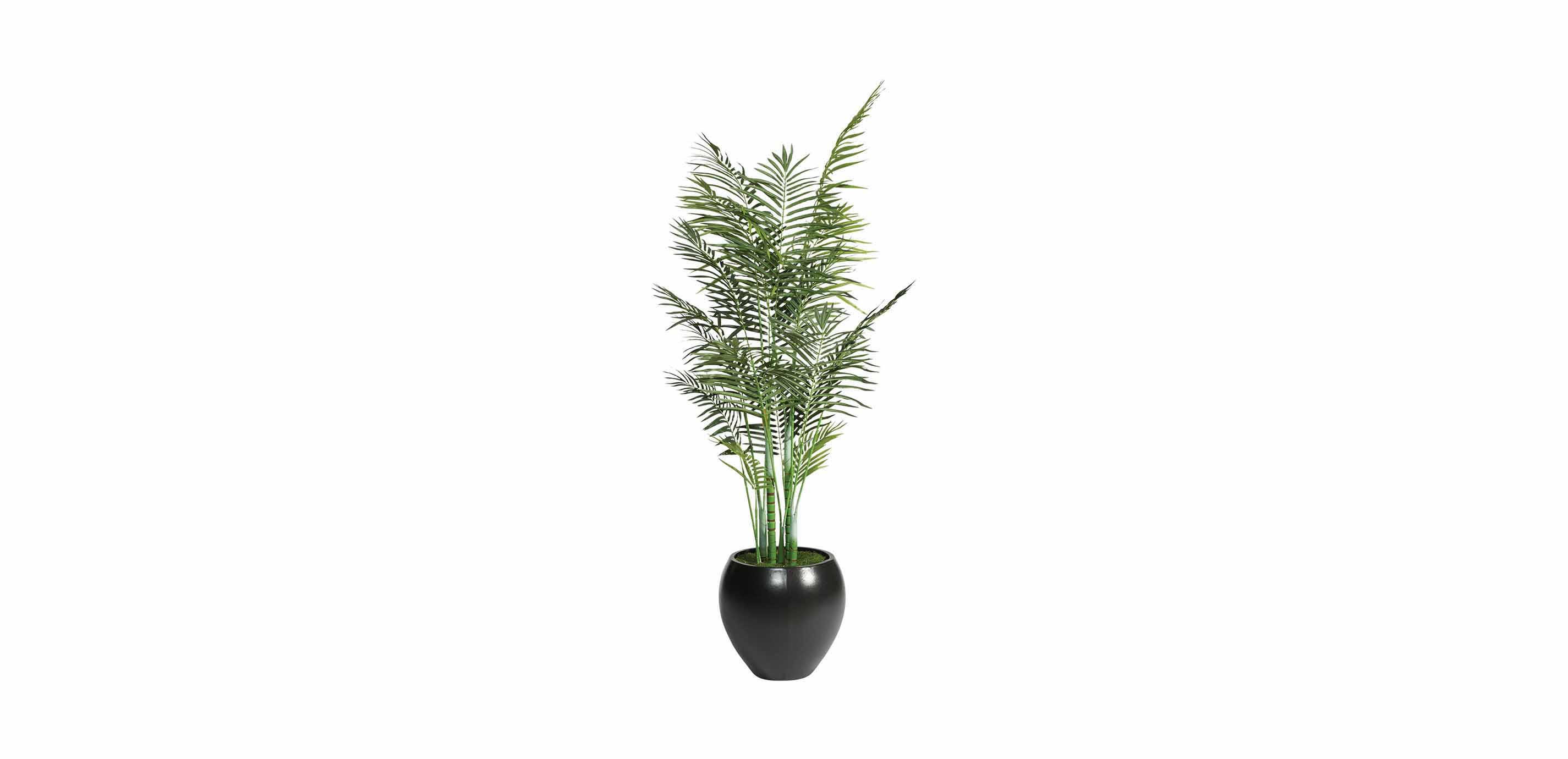 Congenial Areca Palm Tree Areca Palm Tree Florals Trees Ethan Allen Areca Palm Tree Dying Areca Palm Tree Watering houzz-03 Areca Palm Tree
