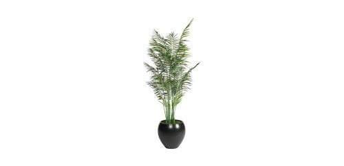 Medium Of Areca Palm Tree