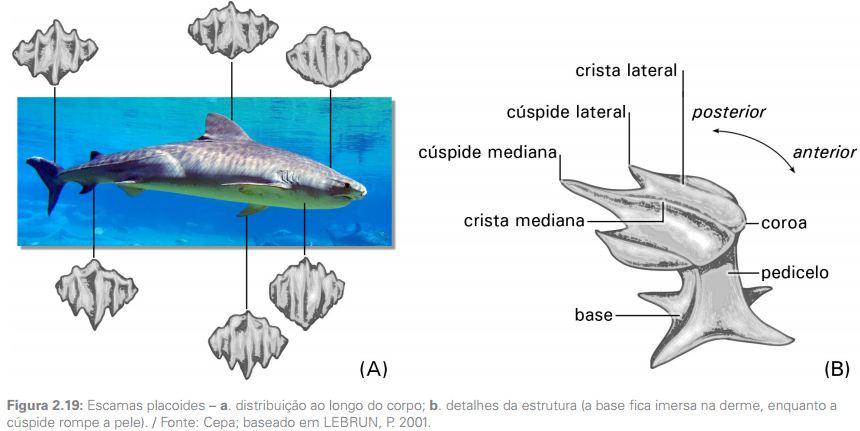 diferencas entre peixes cartilaginosos e osseos1