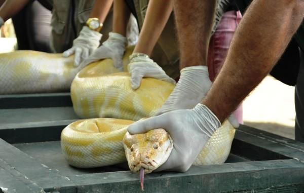 Se sua universidade possuir um biotério, você vai aprender a manusear serpentes. Caso não tenha, você poderá procurar por estágio em locais específicos, para aprender a lidar com estes animais e vários outros. Além disso, geralmente as universidades que possuem biotério oferecem cursos de manejo de serpentes para estudantes.