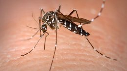 A Tiger Mosquito. Photo by James Gathany/CDC, Wikipedia Commons.