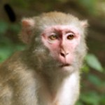 Rhesus monkeys were the study subjects