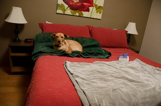 traveling with your dog - posey on hotel bed