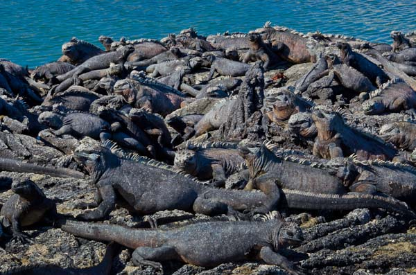 Hundreds of Galapagos marine iguanas