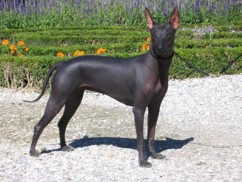 Large Of Mexican Dog Breeds
