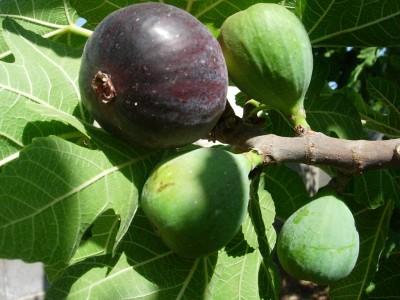 menikmati tanaman surga, buah tin atau ara