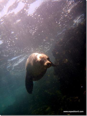 Un lion de mer vient mordiller mes palmes, Galapagos, Equateur.