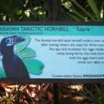 No Freedom of Flight for the Visayan Tarictic Hornbill