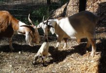 loan for goat farm in india