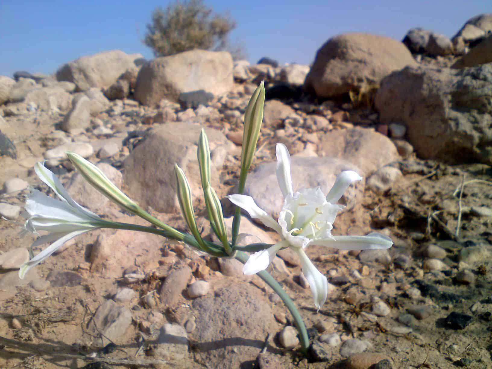 negev desert lily - jeep tours mitzpe ramon טיולי ג'יפים ...