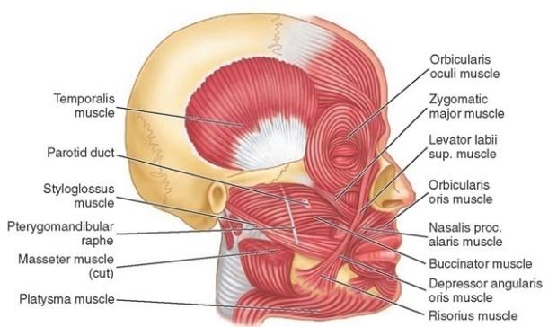 FacialMuscle