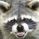 2nd Rabid Raccoon Found At Quiet Waters Park