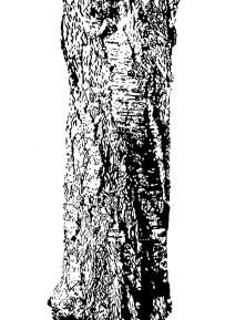 Kirschbaum auf dem Weg nach Rommelshausen 04 100 x 70 cm - Tusche auf Fotokarton 2016