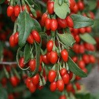 fructele de goji