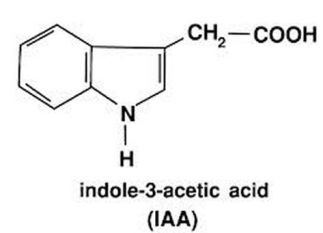 hormon-inradacinare-auxina-acid-indolacetic
